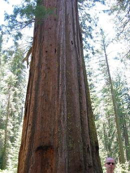 You see my head? That's how big the trees are in Yosemite., Global Nomad - April 2008