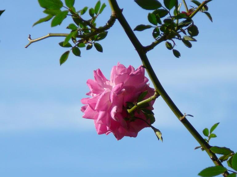 Rose - Seville