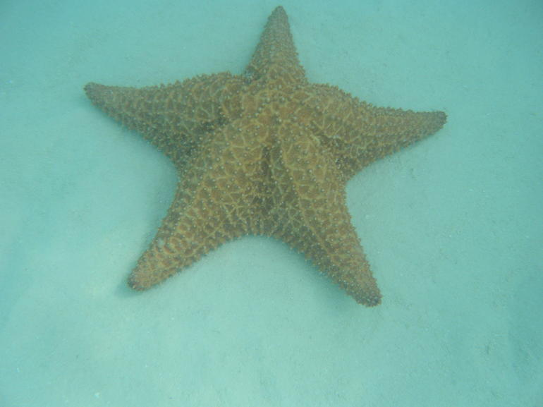 Giant star fish - Punta Cana