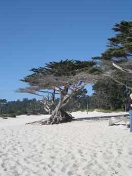 Love the windswept trees at the beach, Melinda - October 2010