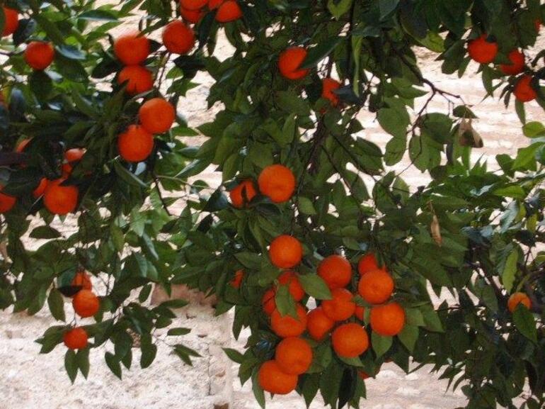 Oranges - Seville