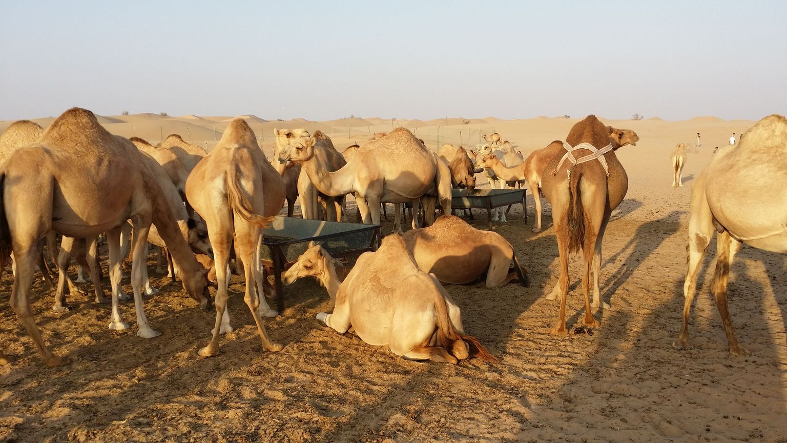 MÁS FOTOS, Safari por el desierto por la tarde con cena de barbacoa, pintura con henna, paseo en camello y danza del vientre