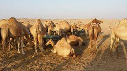 Our Camel Stop in the Desert , Kenneth K - November 2015