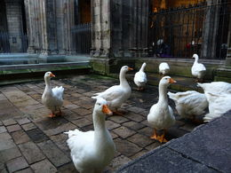 A suprise when entering the cloister of the cathedral in the Gothic quarter was the gaggle of geese who greeted us. , Perry H - November 2015