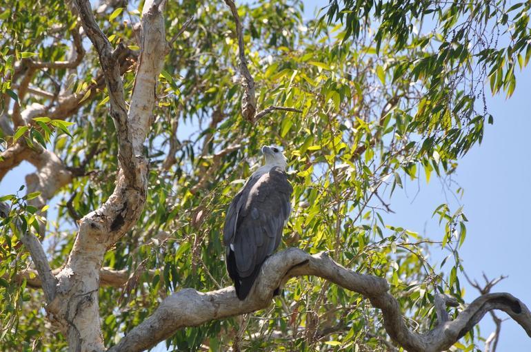 Australian eagle - Darwin
