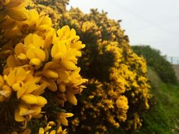 These gorgeous flowers on the thorny gorse pepper the mountains and cliffs. , jsilver1 - May 2016