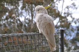 a Sulfur Crested Cockatoo at Scenic World in the Blue Mountains, Richard H - November 2009