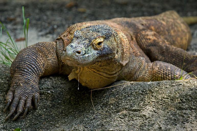 Komodo Dragon, Singapore Zoo - Singapore