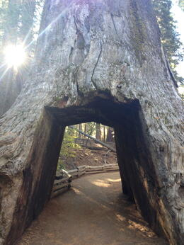 Giant Sequoia , Erue - January 2013