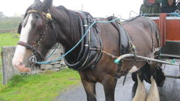 Our faithful Irish cob. Instead of giddy-up, Oliver said, Go on! , Roger G - October 2017