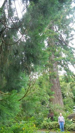 Giant sequoia in Jamison Gardens , JAMES F - September 2012