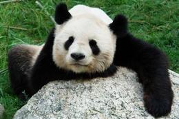 Great Panda chilling, Tiergarten Schonbrunn Zoo, Vienna - November 2011