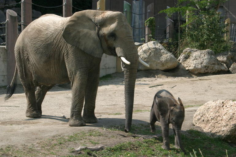 Elephants, Tiergarten Schonbrunn Zoo, Vienna - Vienna