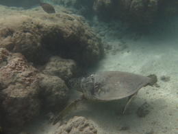 What a privilege to be able to swim with a sea turtle! , scooter - March 2014