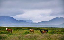 Icelandic ponies , RM - September 2015