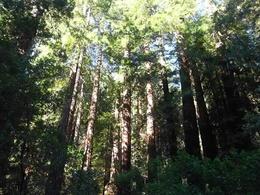 Redwoods , Dubble312 - March 2012