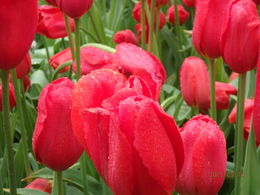 Loved these tulips! , vacation - May 2015