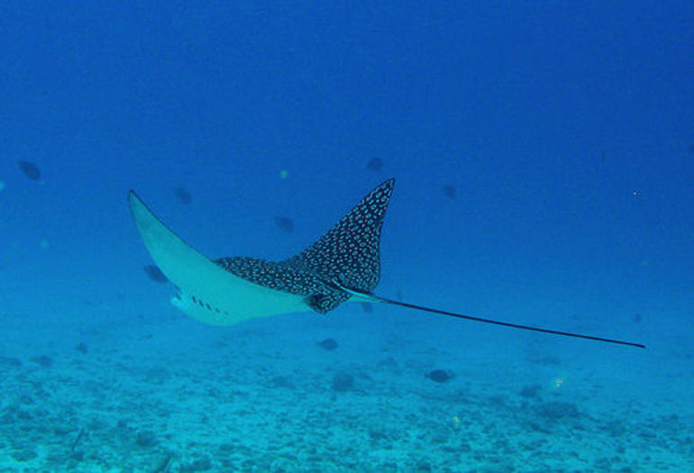 Spotted Eagle Ray - British Virgin Islands