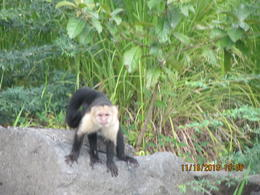 Hungry white-faced (capuchin) monkey came up close on one of the isletas! , Joan B - November 2013