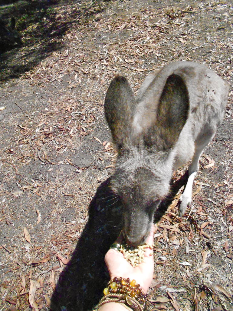 Feeding the Roo!!! - Melbourne