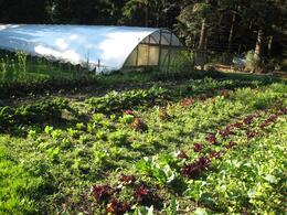 Vegetable garden outside our room, Willows Inn, Skootre - October 2010