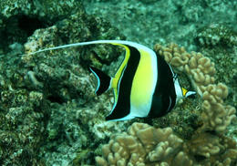 One of the many reef fish just off the shore at Green Island , Gregory W - May 2012