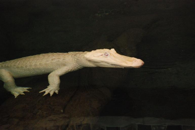 Claude, the Albino Alligator - San Francisco