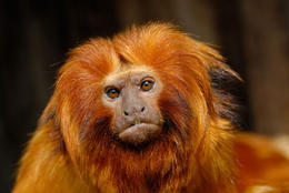 A golden lion tamarin (Leontopithecus rosalia) at the Singapore Zoo - May 2011