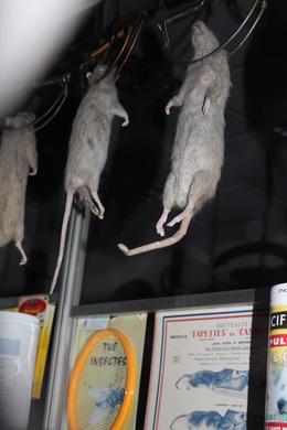Real Dead RATS!! , Monica R - April 2012