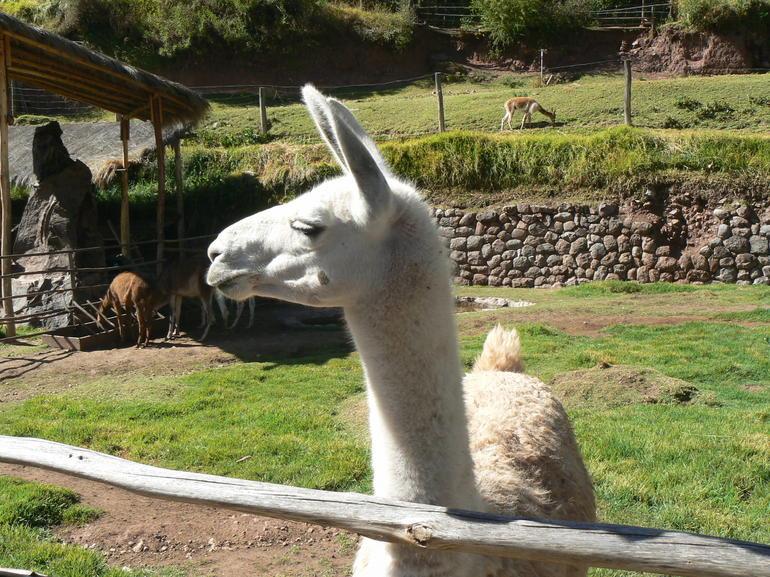 Llam - Cusco