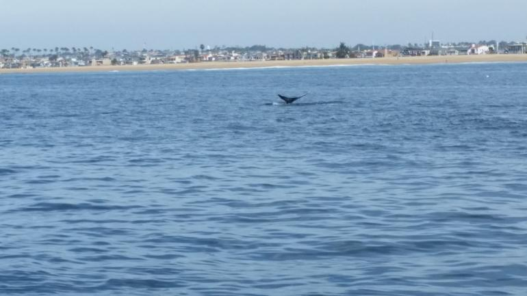 Whale-Watching Cruise from Newport Beach photo 13