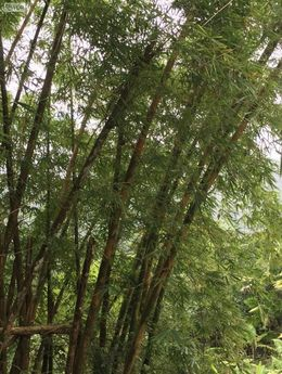 Bamboo trees! , Linda S - August 2016