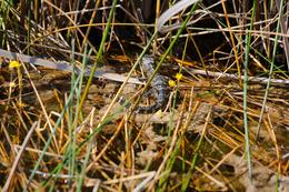 New born alligator, as seen from the airboat on the tour. , Daniel S - February 2013