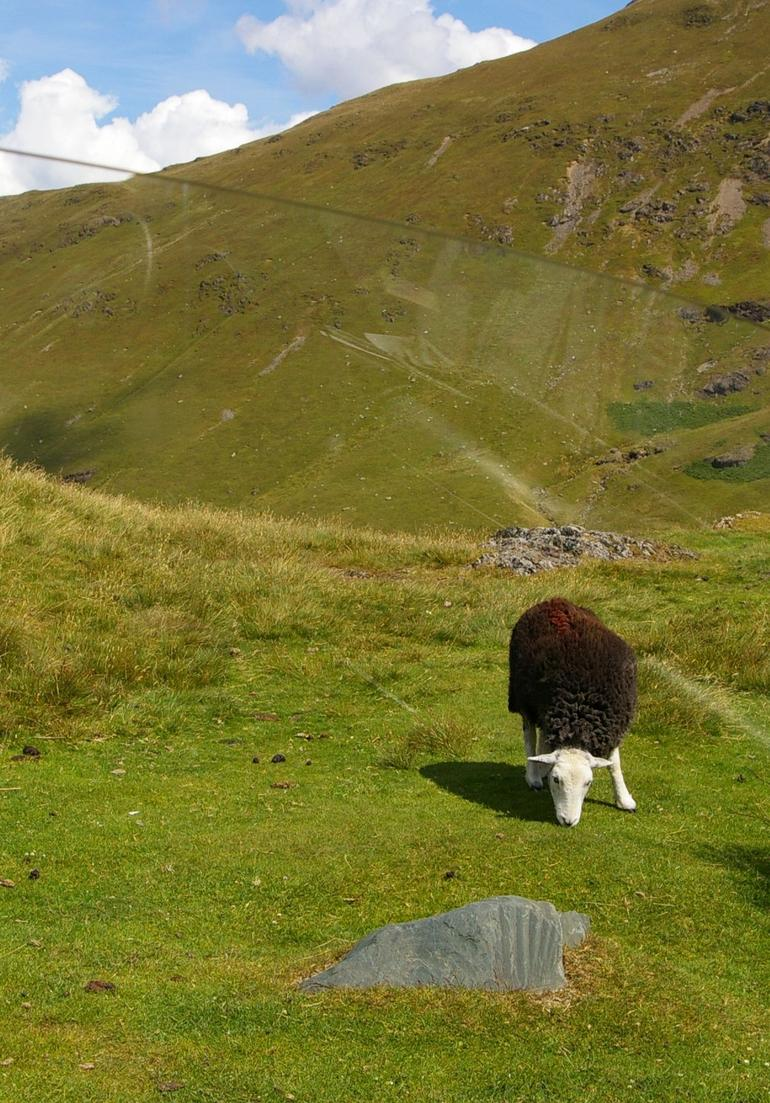 Sheep of the Lake District -