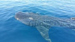 Whale shark swimming next to our ship , Maria P - July 2017