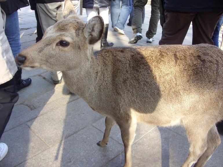 Japan Nara hungry deer - Tokyo