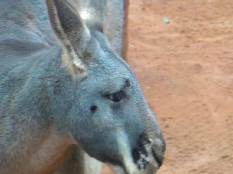 kangaroos - Sydney
