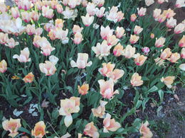 How surprising that tulips started in Turkey , Donald A D - May 2016
