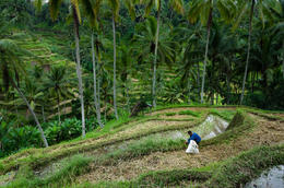 Bali Rice Field , salmorej - December 2013