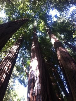 Inside the Muir woods park , IrmaBerg - June 2012