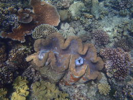 Giant clam. , Jaime O - January 2012