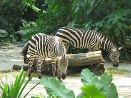 Zebras at the zoo , srbazpt - May 2015