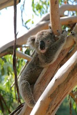 Koala Conservation Center , helene - March 2013