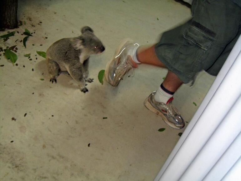 Koala - Cairns & the Tropical North