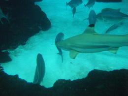 Black Tip shark at the bottom of the Tank 05/06/13 , Randy J. Barnes - June 2013