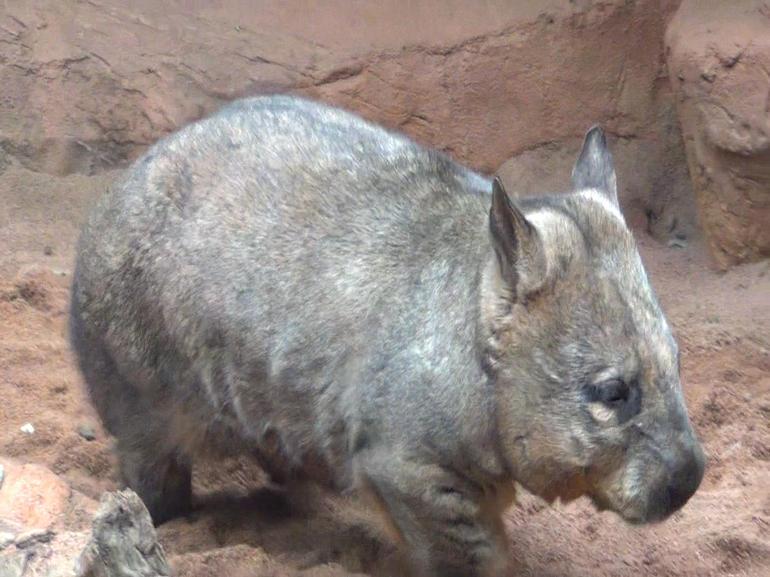 Wombat - Sydney