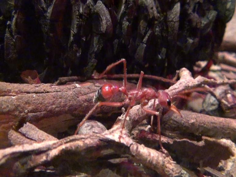 Ant - Sydney