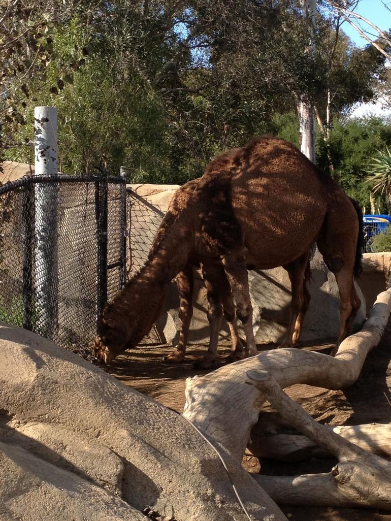 Camel - San Diego