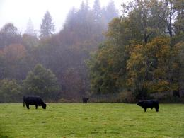 Typical Scottish black cows.. Do ask Mr Bob to tell you about them!, Christos P - November 2010