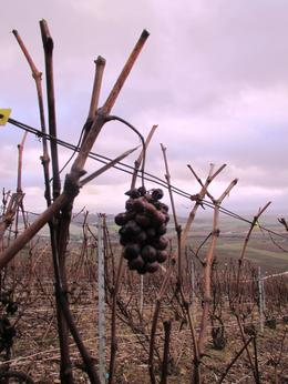 Grapes that were left behind from harvest - still really amazing , Kevin B - February 2013